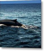 Whale Watching Balenottera Comune 6 Metal Print