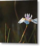 White African Iris Metal Print