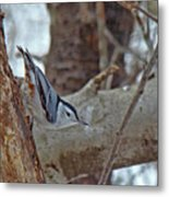 White Breasted Nuthatch - Sitta Carolinensis Metal Print