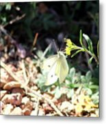 White Butterfly On Goldenseal Metal Print