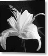 White Day Lily In Bw Metal Print
