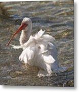 White Ibis In Florida Metal Print