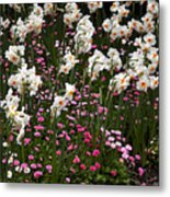 White Narcissus With Pink English Daisies In A Spring Garden Metal Print