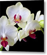 White Orchids Metal Print by Garry Gay