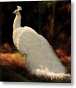 White Peacock In Golden Hour Metal Print