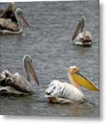White Pelicans On Lake  Metal Print