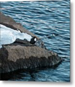 White-throated Dipper Nr 3 Metal Print