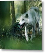 White Wolf Walking In Forest Metal Print