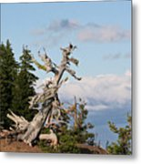 Whitebark Pine At Crater Lake's Rim - Oregon Metal Print