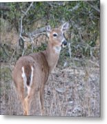 Whitetail Deer II Metal Print