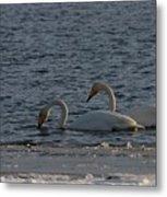 Whooper Swan Nr 2 Metal Print