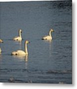 Whooper Swan Nr 8 Metal Print
