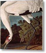 Whooping Crane Metal Print by John James Audubon