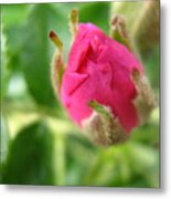 Wild Rose Bud Metal Print