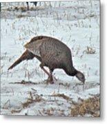 Wild Turkey - Meleagris Gallopavo Metal Print