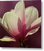 Wine And Cream Magnolia Blossom Metal Print