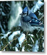 Winter Blue Jay Metal Print
