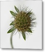 Winter Pin Cushion Plant Metal Print