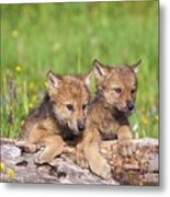 Wolf Cubs On Log Metal Print