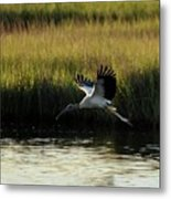 Wood Stork Winged Flight Metal Print