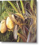 Yellow Coconuts From The Tropics  Metal Print