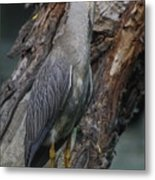 Yellow Crested Night Heron On Log Metal Print
