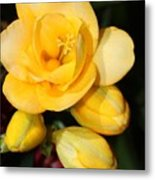 Yellow Crocus Closeup Metal Print