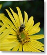 Yellow Daisy And Bee  Metal Print