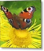 Yellow Daisy With Butterfly Metal Print