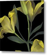 Yellow Lily On Black Metal Print