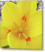 Yellow Tulip Flower Spring Flowers Floral Art Prints Metal Print