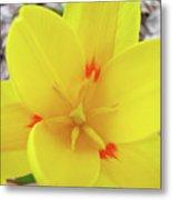 Yellow Tulip Flower Spring Flowers Floral Art Prints Metal Print
