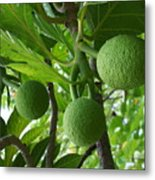 Young Breadfruit Metal Print