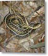 Young Eastern Garter Snake - Thamnophis Sirtalis Metal Print