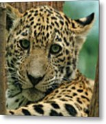 Young Jaguar Metal Print