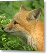 Young Red Fox In Profile Metal Print
