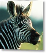 Young Zebra Metal Print
