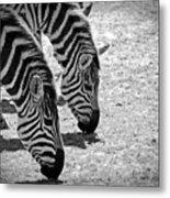 Zebra Beauty Metal Print