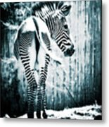 Zebra Blues  Metal Print
