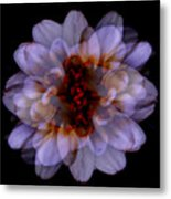 Zinnia On Black Metal Print