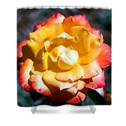 Red Tipped Yellow Rose Shower Curtain