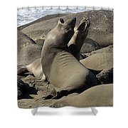 Seal Duet Shower Curtain by Bob Christopher