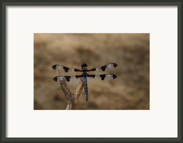 12 Spotted Skimmer Framed Print By Dick Todd