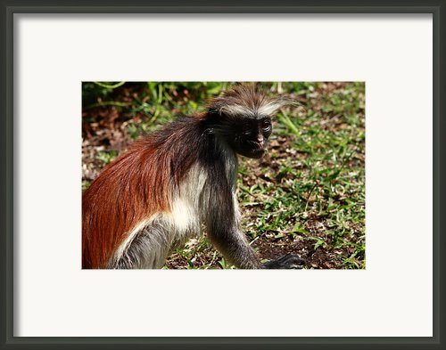 Colobus Monkey Framed Print By Aidan Moran