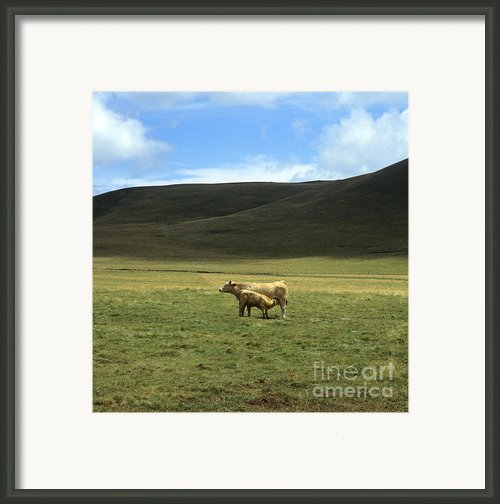Cow And Calf. Aubrac . France. Framed Print By Bernard Jaubert