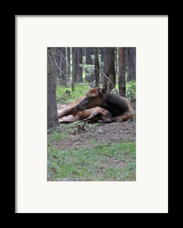 Elk In  Yellowstone Park  Framed Print By Larry Stolle