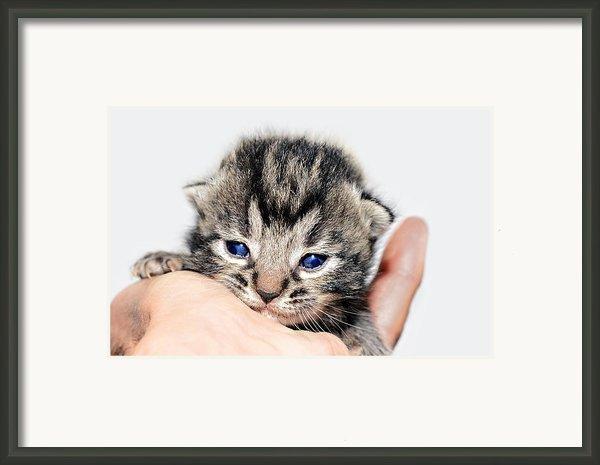Kitten In A Hand Framed Print By Susan Leggett