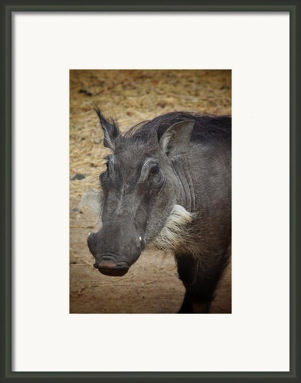 African Boar Framed Print By Dave Hall