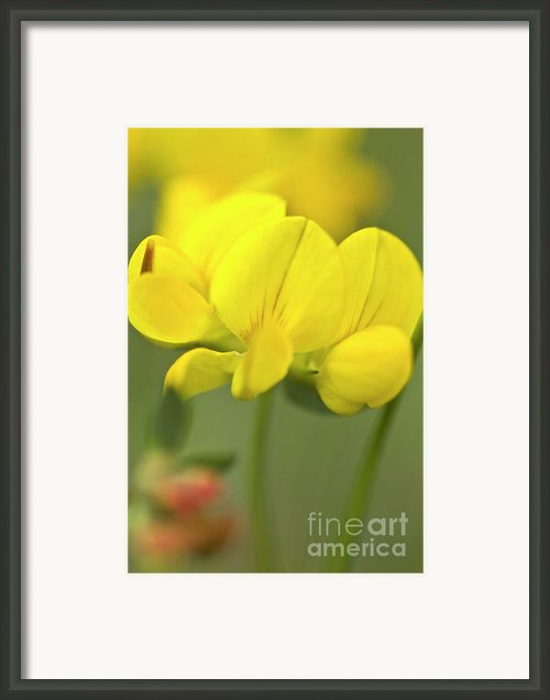 Birdsfoot Trefoil In The Meadows Framed Print By Heiko Koehrer-wagner