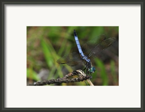 Blue Dasher Framed Print By J Scott Davidson